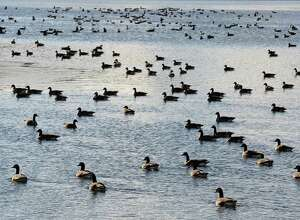 Canada Geese on Stony Creek Reservoir Friday Dec. 9, 2016 in Clifton Park, NY.  (John Carl D'Annibale / Times Union)