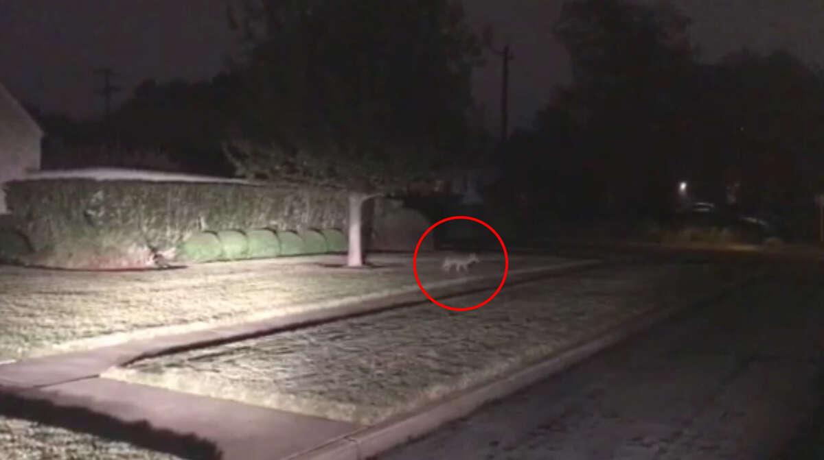 A coyote was seen in Monte Vista on Dec. 8, 2016.