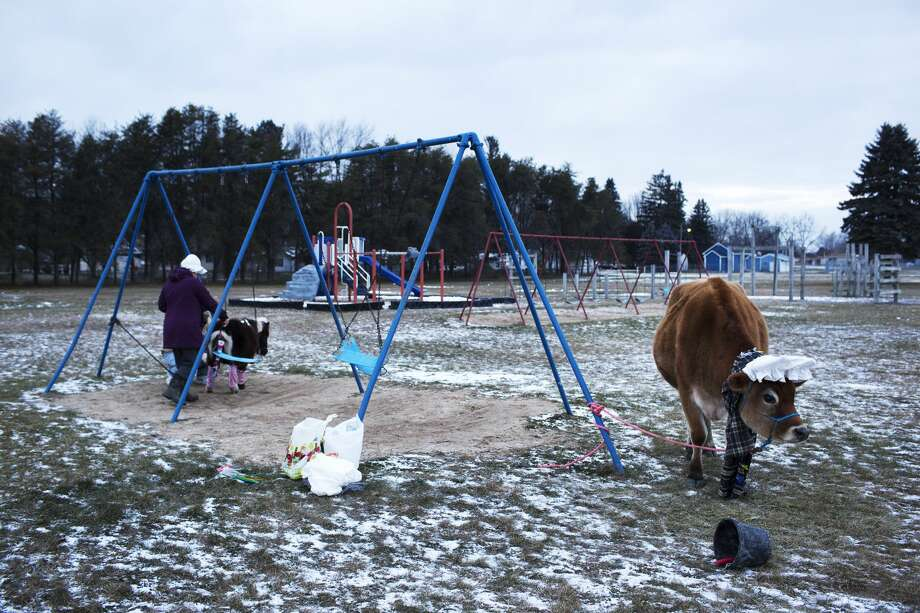 Beaverton residents Pete Maeder, and Michelle Magnus,  dress Tanner, a mini horse, with Christmas lights while Murphy, a Jersey steer, munches on grass before participating in the 2016 Coleman Holiday Parade on Saturday. Photo: THEOPHIL SYSLO | For The Daily News