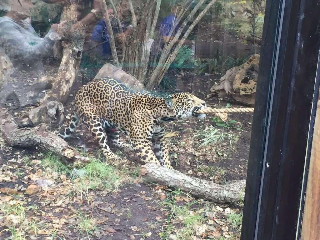 Jaguar San Antonio >> Tony Parker Plays Tug Of War With A Jaguar At The San Antonio Zoo