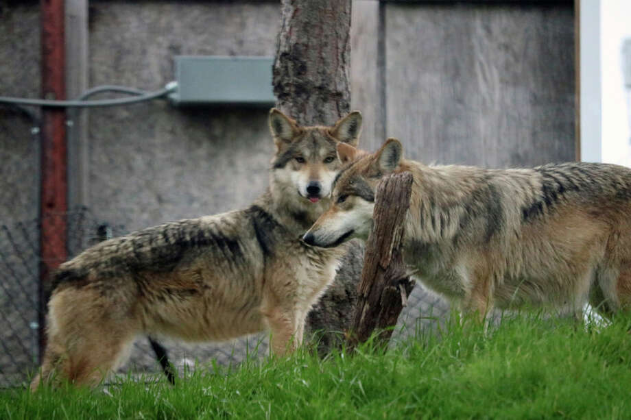 Two new Mexican wolves have moved into an exhibit at The Saginaw Children's Zoo at Celebration Square. One-and-a-half-year-old sisters, Izzy and Rachel, made their way to Saginaw from the Endangered Wolf Center in Missouri.
