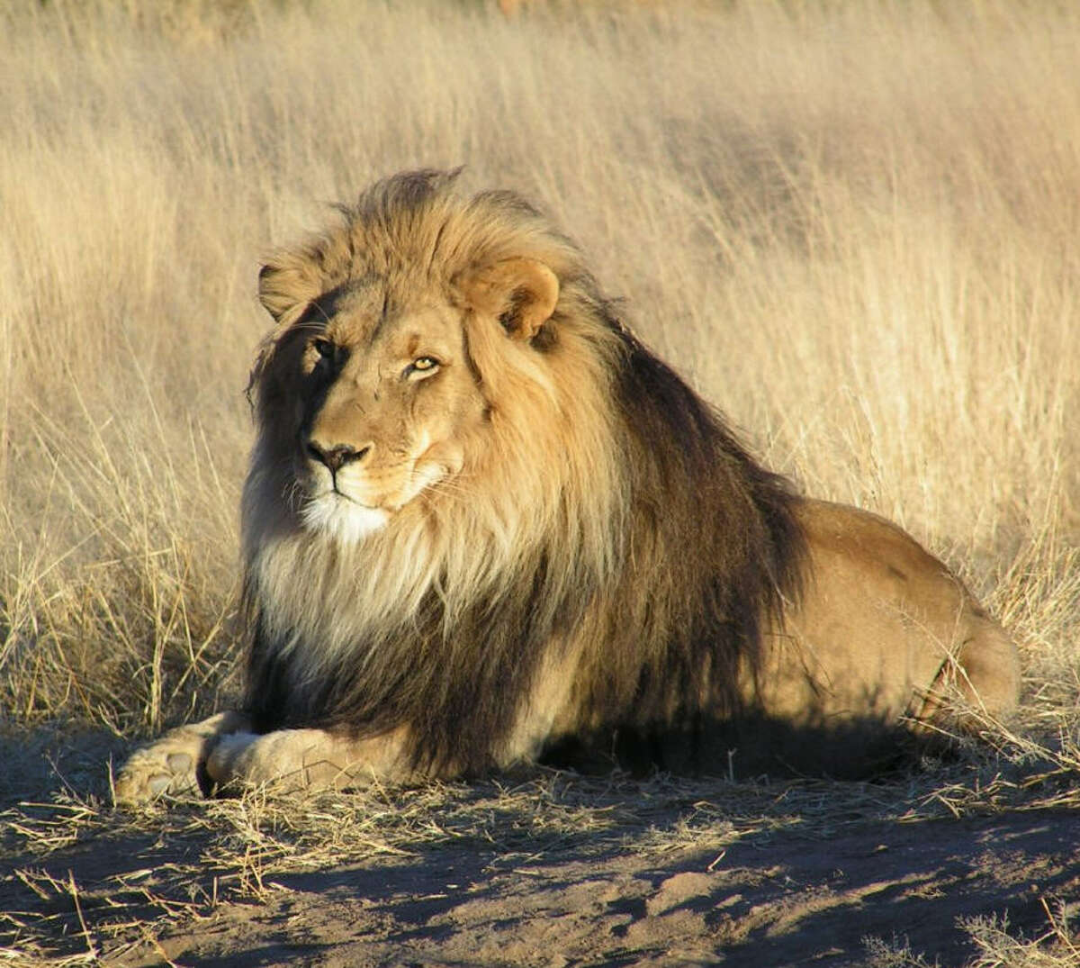 Lions, and tigers, and bears in Texas They may be the king of beasts, but lions aren't the most popular wild animal kept by owners in Texas. Click through to see the most popular dangerous wild animals registered by owners in Texas and where they are.