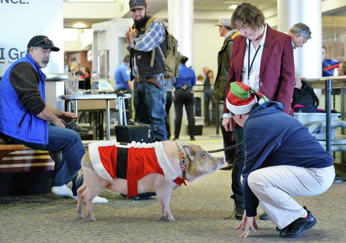 Terry Hutchinson of Auriesville, right, and her pet Bacon Bits, a 101-pound pot-bellied pig, tour Albany International Airport's main terminal as Bacon Bits becomes the airport's newest ambassador Wednesday Dec. 14, 2016 in Colonie, NY. (John Carl D'Annibale / Times Union)