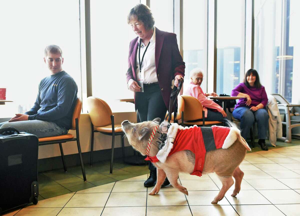 Terry Hutchinson of Auriesville and her pet Bacon Bits, a 101-pound pot-bellied pig, tour Albany International Airport's main terminal as Bacon Bits becomes the airport's newest ambassador Wednesday Dec. 14, 2016 in Colonie, NY. (John Carl D'Annibale / Times Union)