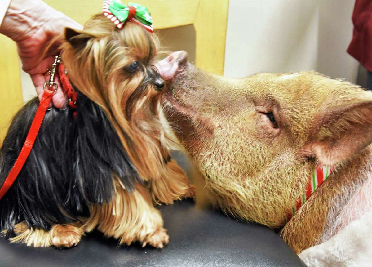 Canine Ambassador Tallulah, left, meets Bacon Bits, a 101-pound pot-bellied pig and the Albany International Airport's newest ambassador Wednesday Dec. 14, 2016 in Colonie, NY. (John Carl D'Annibale / Times Union)