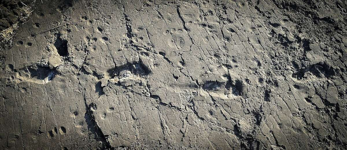 This undated photo provided by Raffaello Pellizzon in December 2016 shows fossilized footprints of a human ancestor, believed to be Australopithecus afarensis, at the Laetoli site in northern Tanzania. Findings were described in a report released Wednesday, Dec. 14, 2016, by the journal eLife. (Raffaello Pellizzon via AP)