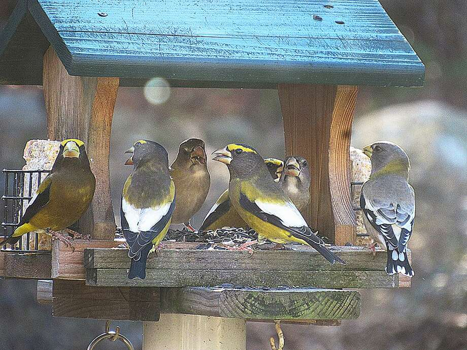 Evening grosbeaks visit a feeder near Jaffrey, N.H., in this photo taken by For the Birds reader Pam Hoyt. Photo: Contributed Photo / Hearst Connecticut Media / The News-Times Contributed