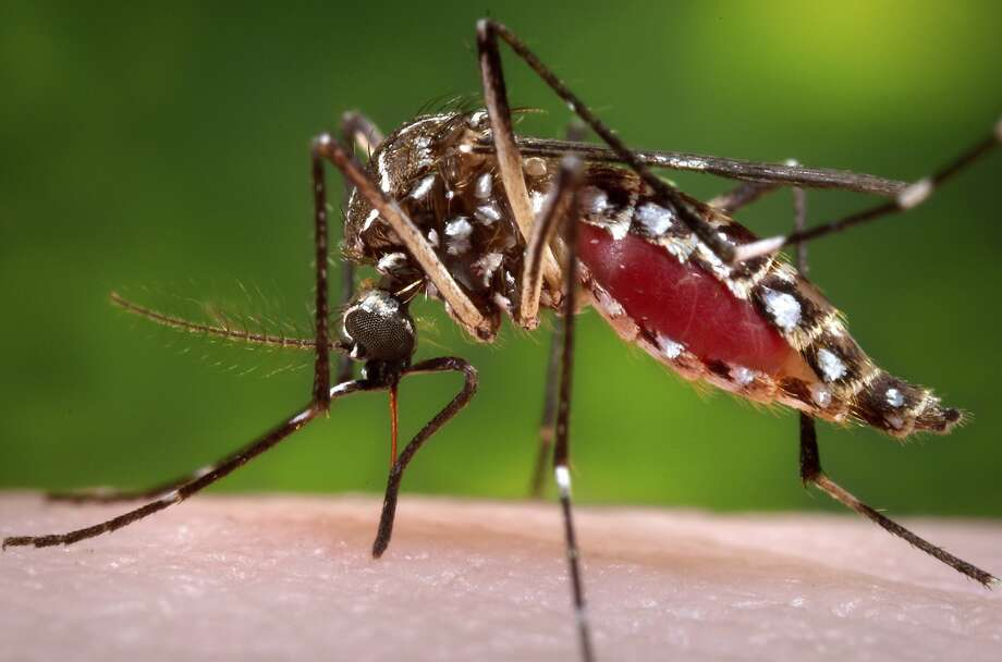 This 2006 file photo provided by the Centers for Disease Control and Prevention shows a female Aedes aegypti mosquito. Photo: James Gathany, Associated Press