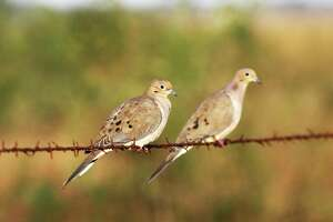 Millions of mourning doves migrate to Texas each autumn, offering outstanding wingshooting opportunities.