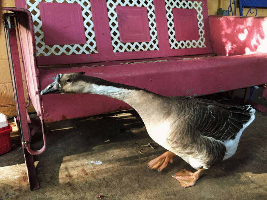"""In her 13 years of living in the Heights, Lizzy Hargrove has made her yard a jungly paradise. A small pond out back is for frogs and Honker the goose. Honker is a big attraction in the neighborhood, she said. """"People want their picture taken with him."""" Photo: Lucas Masllorens / Modest Digs"""