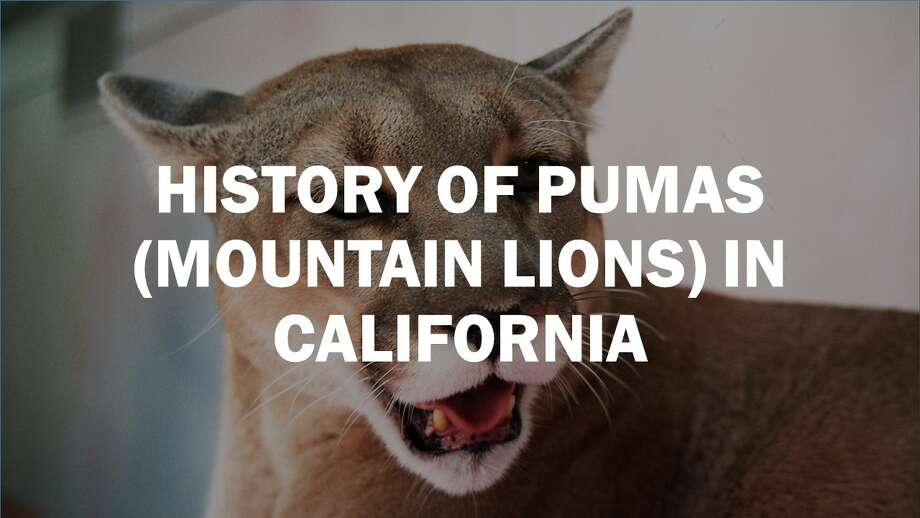 Click forward to learn about the history of mountain lions in California.