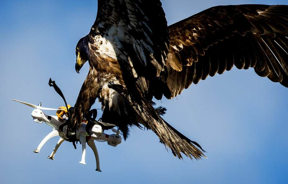 An eagle of the Guard from Above company, grasps a drone during a police exercise in Katwijk, on March 7, 2016.  The bird of prey can get drones from the air by catching them with his legs. / AFP / ANP / Koen van Weel / Netherlands OUT        (Photo credit should read KOEN VAN WEEL/AFP/Getty Images) Photo: KOEN VAN WEEL/AFP/Getty Images