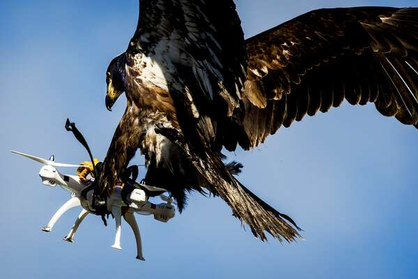 TOPSHOT - An eagle of the Guard from Above company, grasps a drone during a police exercise in Katwijk, on March 7, 2016.  The bird of prey can get drones from the air by catching them with his legs. / AFP / ANP / Koen van Weel / Netherlands OUT        (Photo credit should read KOEN VAN WEEL/AFP/Getty Images)