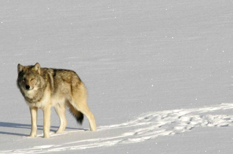 The gray wolf is on the verge of disappearing from the Lake Superior island chain, a report warns. Photo: John Vucetich, Associated Press