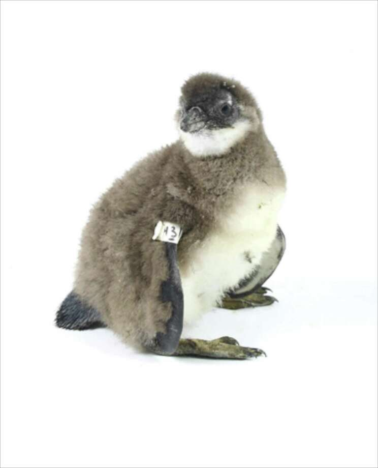 Pebble the Penguin has been adopted by sixth-graders at Whisconier Middle School in Brookfield Photo: Contributed Photo / The News-Times / The News-Times Contributed