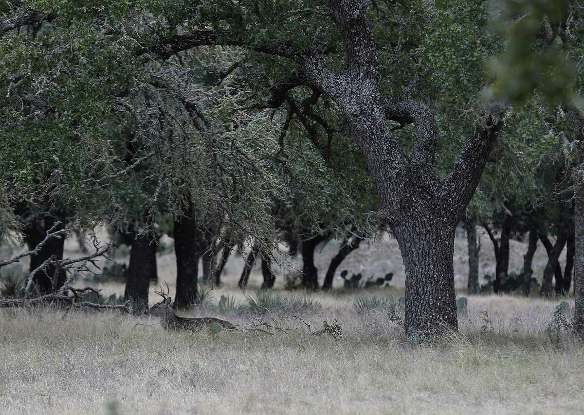 A white-tailed deer rests under a canopy of oak trees on Thursday, Dec. 8, 2016. The economic downturn in the Eagle Ford has a rippling effect in other businesses including hunting in the Hill Country. For operators like Aaron Bulkley who owns Texas Hunt Lodge in Ingram whose business comprises of catering to premium hunting of native and exotic game, the fallout meant having to lower his rates. The prices for the hunts start around $1,000 and depending on the animal can reach 10 times that. As Bulkley prepares for the peak of hunting season in the fall and winter, he believes he can weather the downturn by providing quality hunts and exceptional service at his lodge for guests. (Kin Man Hui/San Antonio Express-News)