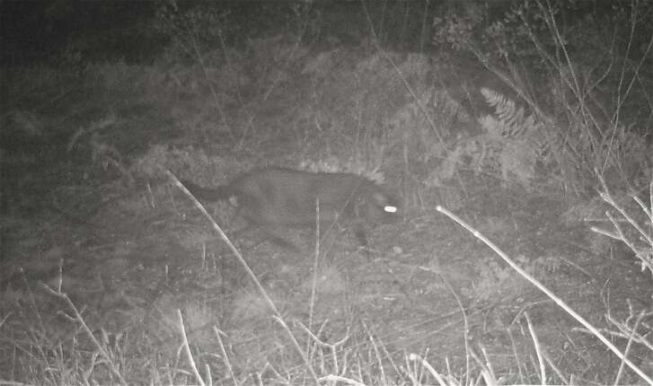 Photo 1 of 4: A house cat let out at night walks past trail cam on game trail behind mountain cabin