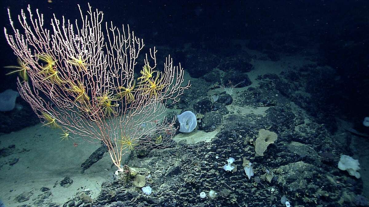 Corals grow on the Mytilus Seamount off New England in the North Atlantic. President Barack Obama has declared a permanent drilling ban from Virginia to Maine on the Atlantic and along much of Alaska's coast.
