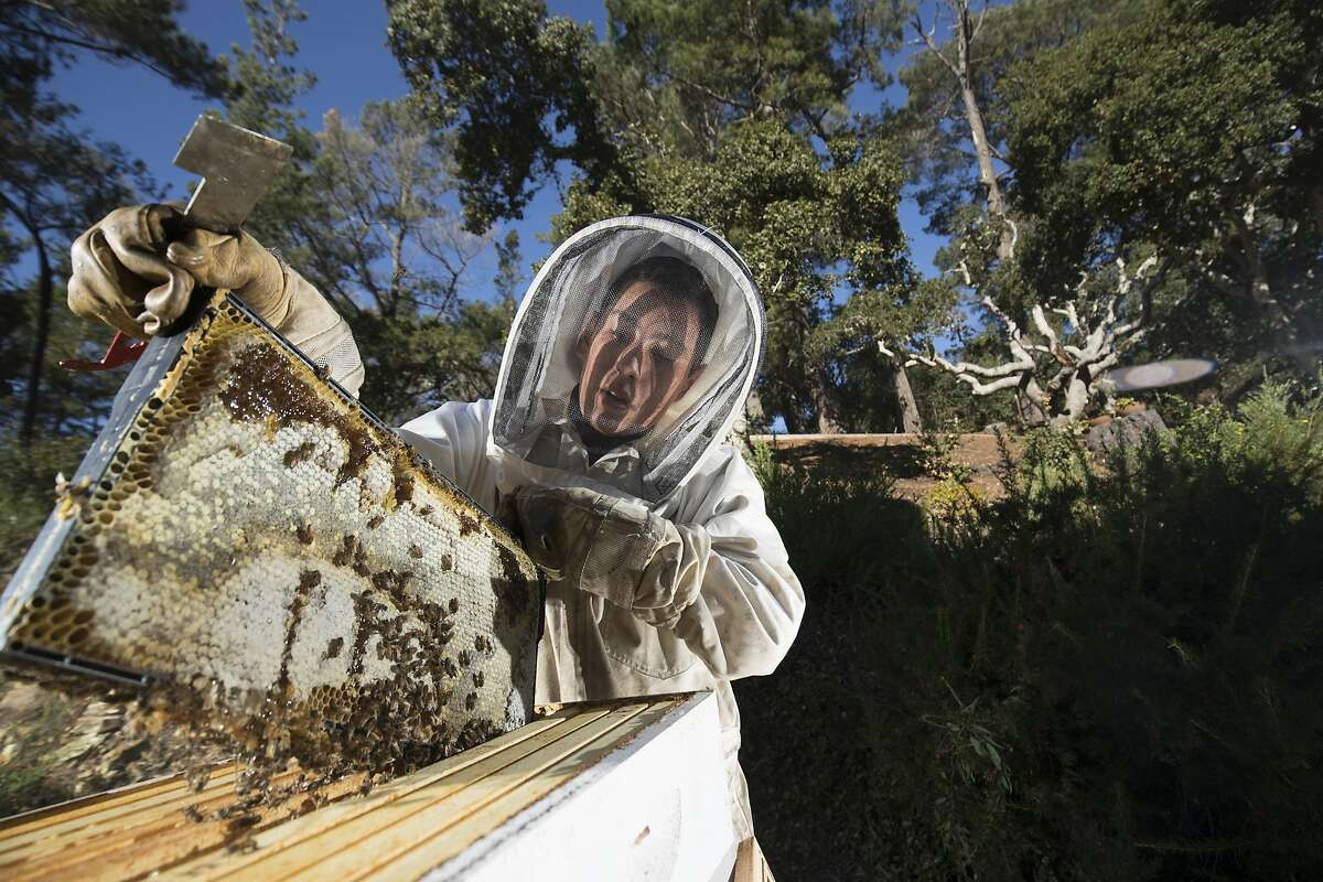 Jake Reisdorf lifts one of the frames filled with honey produced by his hive of Italian honey bees on Saturday, Dec. 17, 2016 in Carmel , California. Carmel eighth-grader Jake Reisdorf is a self-described ?average 14-year-old who likes honey bees.? But he?s also an entrepreneur, having turned that interest into Carmel Honey Company, which supplies area markets, cheese shops and even BelCampo Meat Company in San Francisco. He?s the chief beekeeper who speaks on the topic to students, business owners, or at conferences around the country, and also donates to bee research and education
