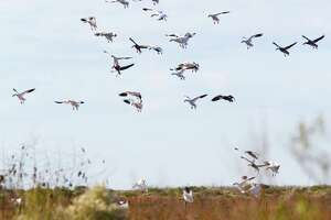Snow geese settle onto a patch of Texas coastal marsh, traditional wintering ground used by the big waterfowl until the coming of rice agriculture in the early 1900s pulled most inland to the coastal prairie.
