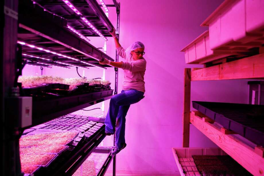 Moonflower Farms vice president Constance Tenorio climbs down a shelf full of spouts as she checks on plants growing at their vertical micro green farm Friday, Dec. 2, 2016 in Houston. ( Michael Ciaglo / Houston Chronicle ) Photo: Michael Ciaglo, Staff / © 2016  Houston Chronicle