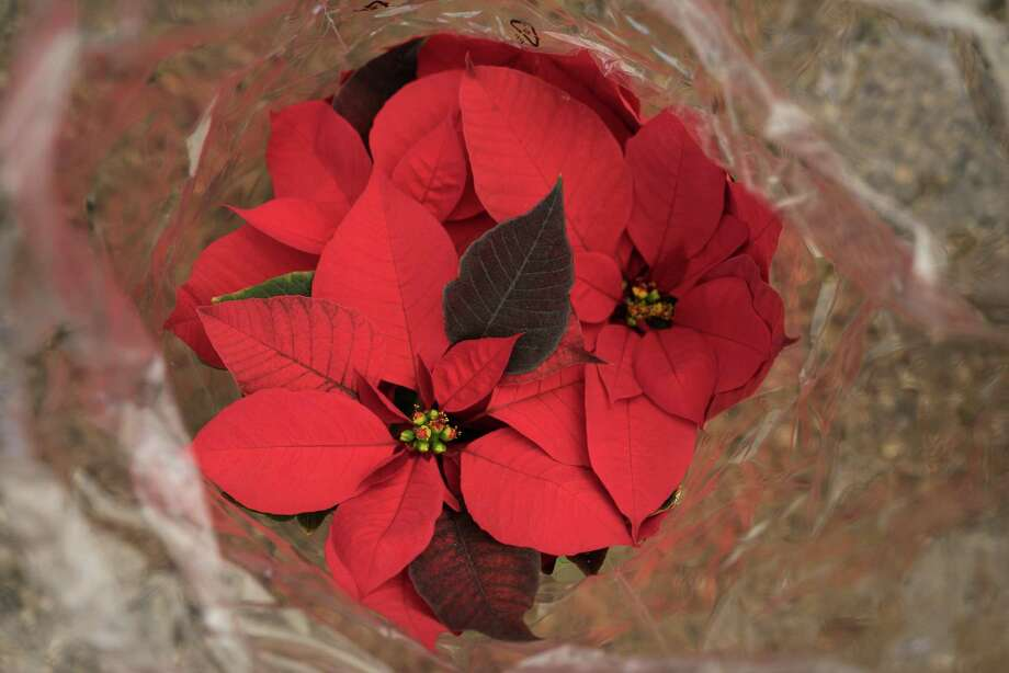 A poinsettias plant is packaged for sale at La Nochebuenas De Mexico nursery in Tlajomulco De Zuniga, Mexico, on Friday, Dec. 9, 2016. The poinsettia is native to Mexico where it is known as the Flor de Nochebuena. The first U.S. Ambassador to Mexico, Joel Poinsett, brought the plant to the United States in the 1828. Photographer: Cesar Rodriguez/Bloomberg Photo: Cesar Rodriguez / Bloomberg / © 2016 Bloomberg Finance LP