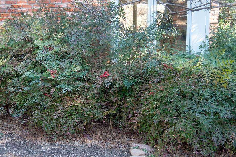 Nandinas as they looked before they were trimmed. Photo: Courtesy Photo