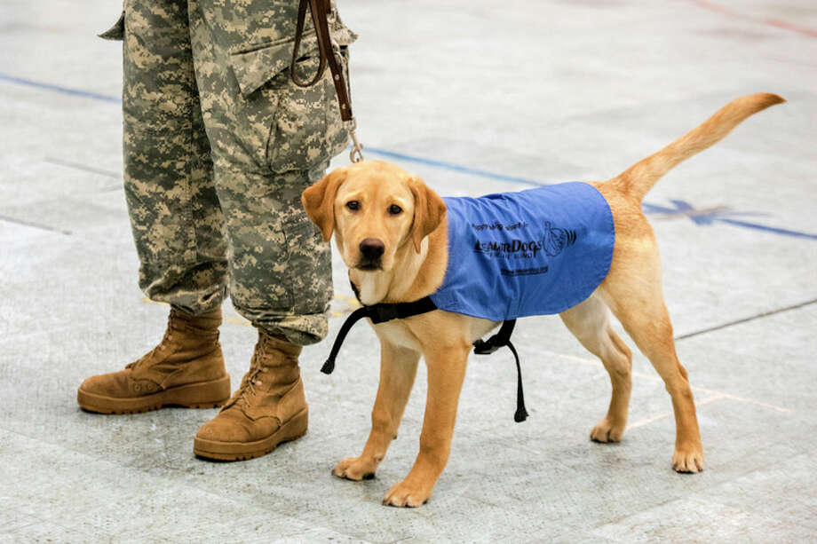 DANIELLE McGREW TENBUSCH | for the Daily News Future Leader Dog Blue, a 5-month-old Labrador, watches as her raiser Hannah Piper oversees an exercise for the Reserve Officers' Training Corps on Dec. 8, in East Lansing. / ©2016