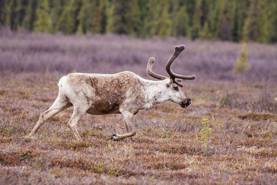 Reindeer are called caribou in Canada and Alaska. Photo: Janice & Nolan Braud/KAC Productions / ©Janice & Nolan Braud/KAC Productions, P O Box 8674, The Woodlands, TX 77387.