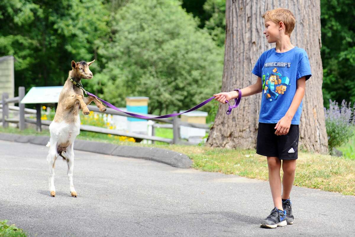 Eight-year old Ethan Dianis, of Stamford, walks a boisterous goat on a leash at the Stamford Museum & Nature Center on Thursday, June 23, 2016.