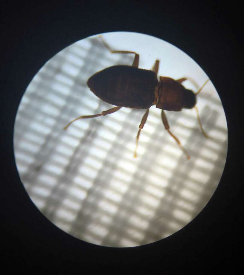 The San Antonio Zoo is celebrating the milestone of their team of scientists breeding an endangered Comal Springs Riffle Beetle at their lab.  This is the beetle, seen through a microscope, in its adult stage. Photo: Courtesy San Antonio Zoo