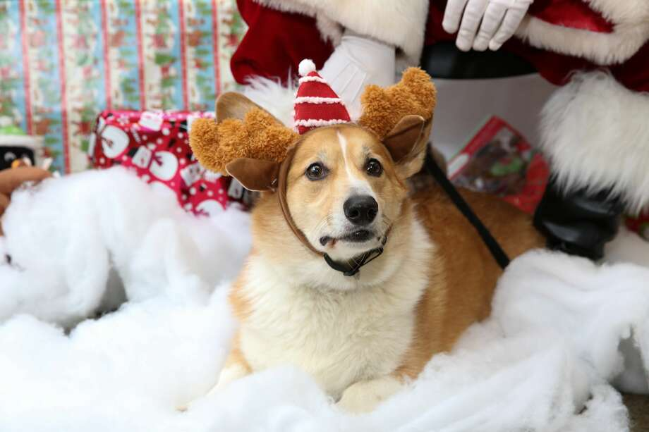 These pet photos with Santa Claus were taken at PetSmart on Saturday, Dec. 10, 2016, in the Brooklyn borough of New York. Photo: Amy Sussman/AP Images For PetSmart