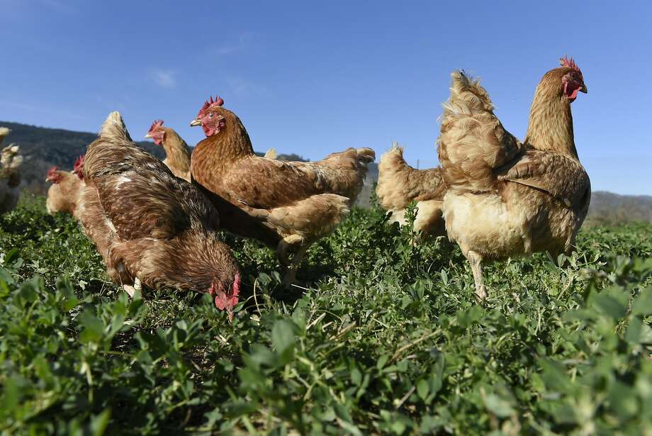 Chickens at Riverdog Farm in Guinda. Photo: Michael Short, Special To The Chronicle