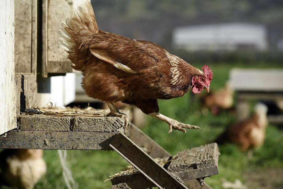 A chicken walks down the steps of a chicken coop at Riverdog Farm in Guinda. Photo: Michael Short, Special To The Chronicle
