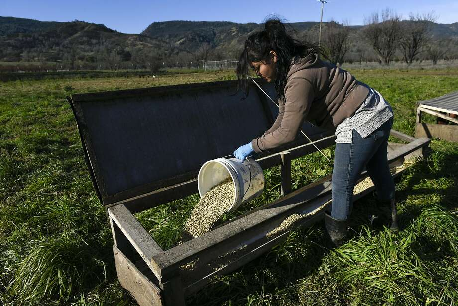 Farmhand Anahi Pineda pours out supplemental grain feed for chickens into a trough at Riverdog Farm in Guinda. Photo: Michael Short, Special To The Chronicle