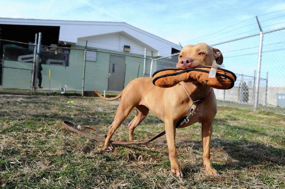 Amber, a young pit bull, plays with a stuffed toy in an enclosed area behind the Stamford Animal Control center in Stamford. Photo: Michael Cummo / Hearst Connecticut Media / Stamford Advocate
