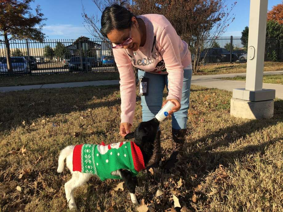 Animal Care Services education coordinator Josie Espinoza, bottle feeds Lambert the Lamb at the ACS campus on Highway 151.  A good Samaritan found the lamb wandering down a West Side street in mid-December as temperatures dipped into the low 30s. Photo: Vincent T. Davis / Courtesy Photo