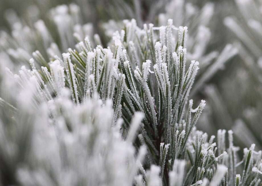 Frost covers a pine tree in this file photo. Temperatures dropped below freezing in many parts of the Bay Area overnight. Photo: Getty Images / /