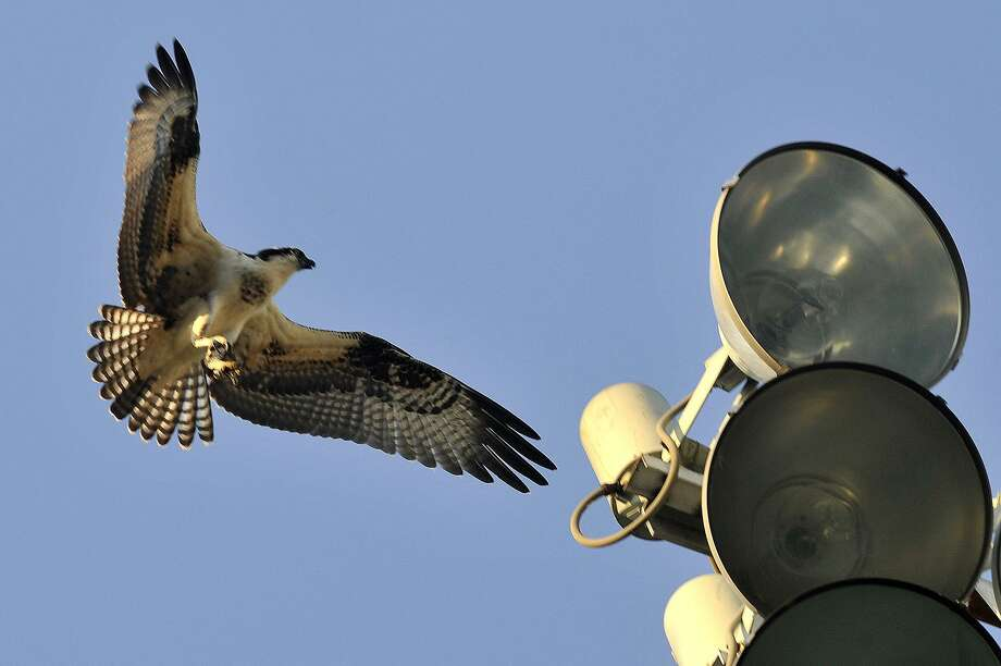 An osprey comes in for a landing on the stadium lights above Cubeta Stadium in Scalzi Park in Stamford, Conn Photo: Hearst Connecticut Media File Photo / Stamford Advocate