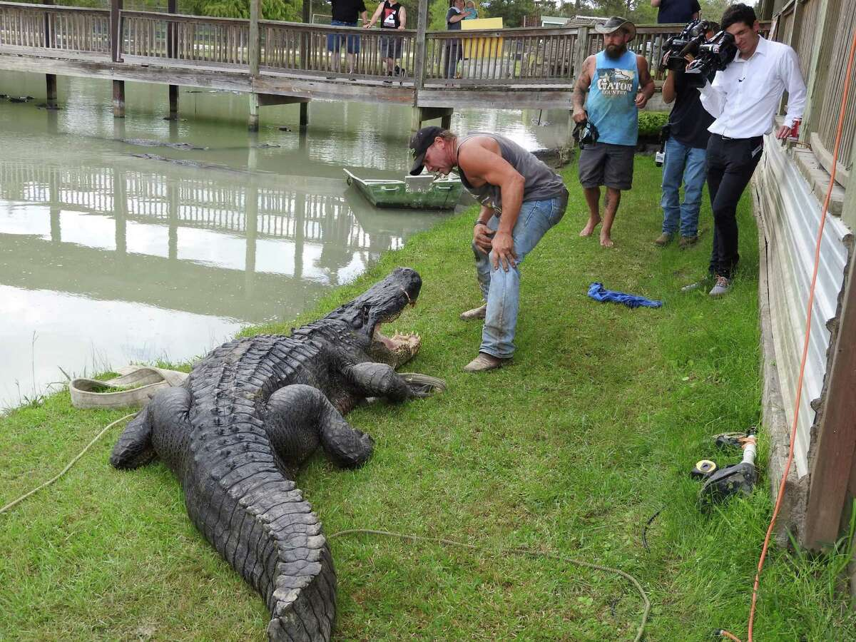How can we avoid gator attacks, when should we call the gator police, and why do they seem to love golf courses? Mark Kramer, chief naturalist at Armand Bayou Nature Center, and Jonathan Warner, alligator program leader for Texas Parks and Wildlife, answer all of your gator questions in the following gallery.