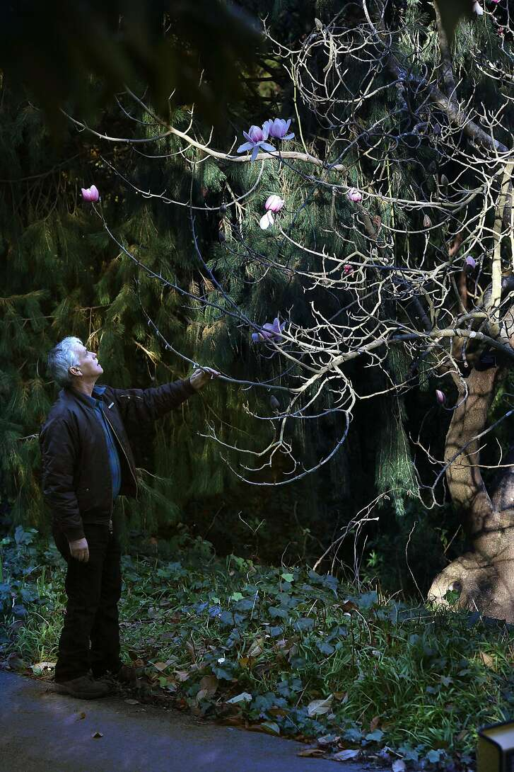 Don Mahoney, curator of the San Francisco Botanical Garden, looking at Magnolia Cambellii at Golden Gate Park in San Francisco, Ca., on Friday, January 4, 2013.