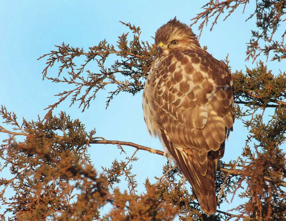 A red-tailed hawk perches in an evergreen tree this winter. Red-tailed hawks were a commonly found species at the most recent Christmas Bird Count. Photo: Chris Bosak / Hearst Connecticut Media / The News-Times
