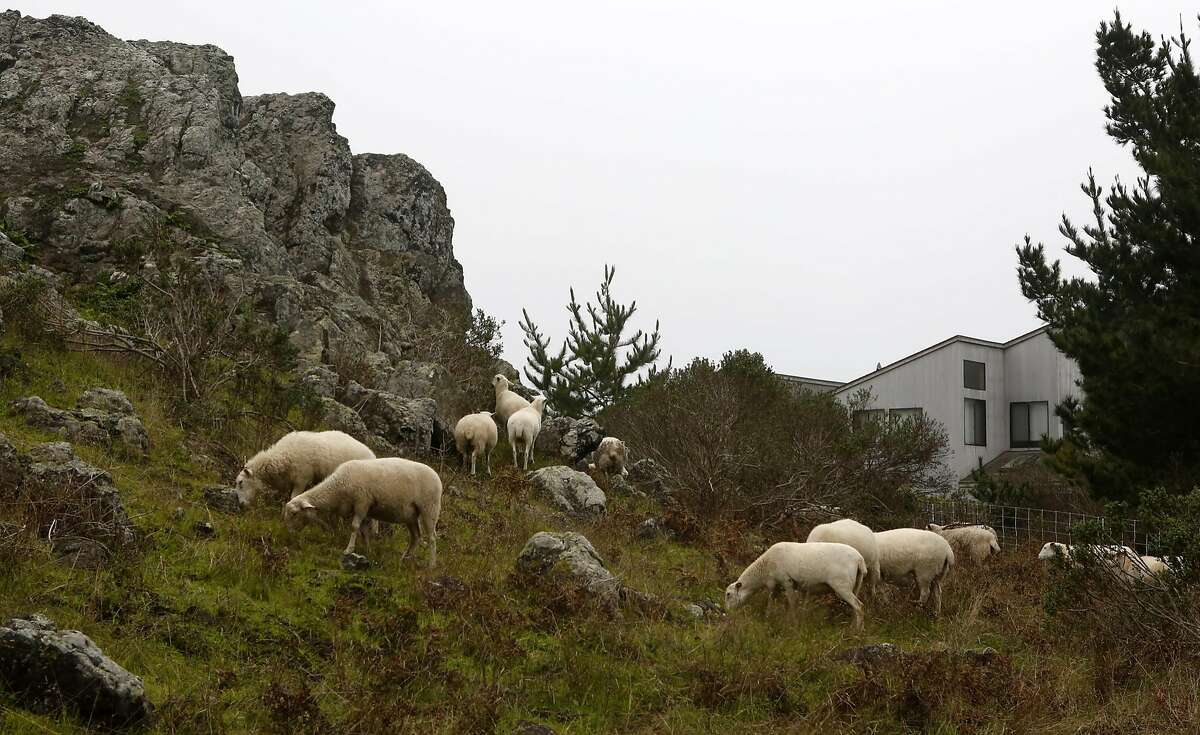 Sheep graze near a home as part of the brush control efforts at The Sea Ranch.