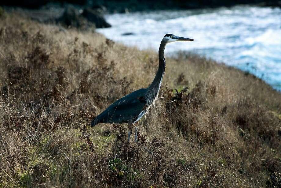 A blue heron walks along the bluffs at Sea Ranch. Photo: Kathleen Duncan / The Chronicle