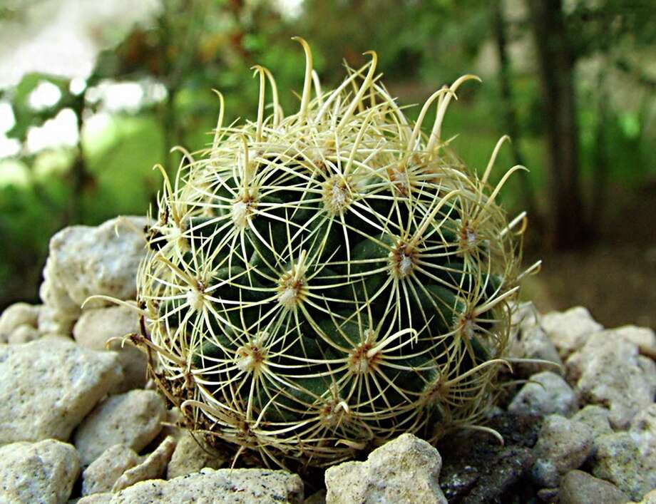 Rare edwards plateau cactus bumped down on endangered list for Fish hook cactus