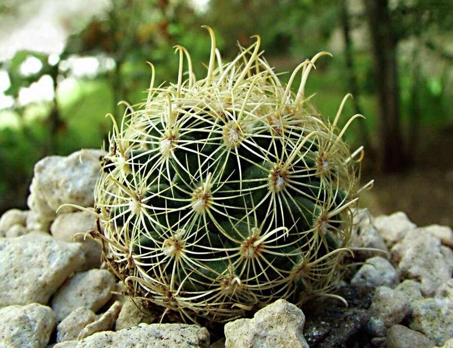 Tobusch fishhook cactus Photo: Photo Courtesy Of Süleyman Demir / Creative Commons free license