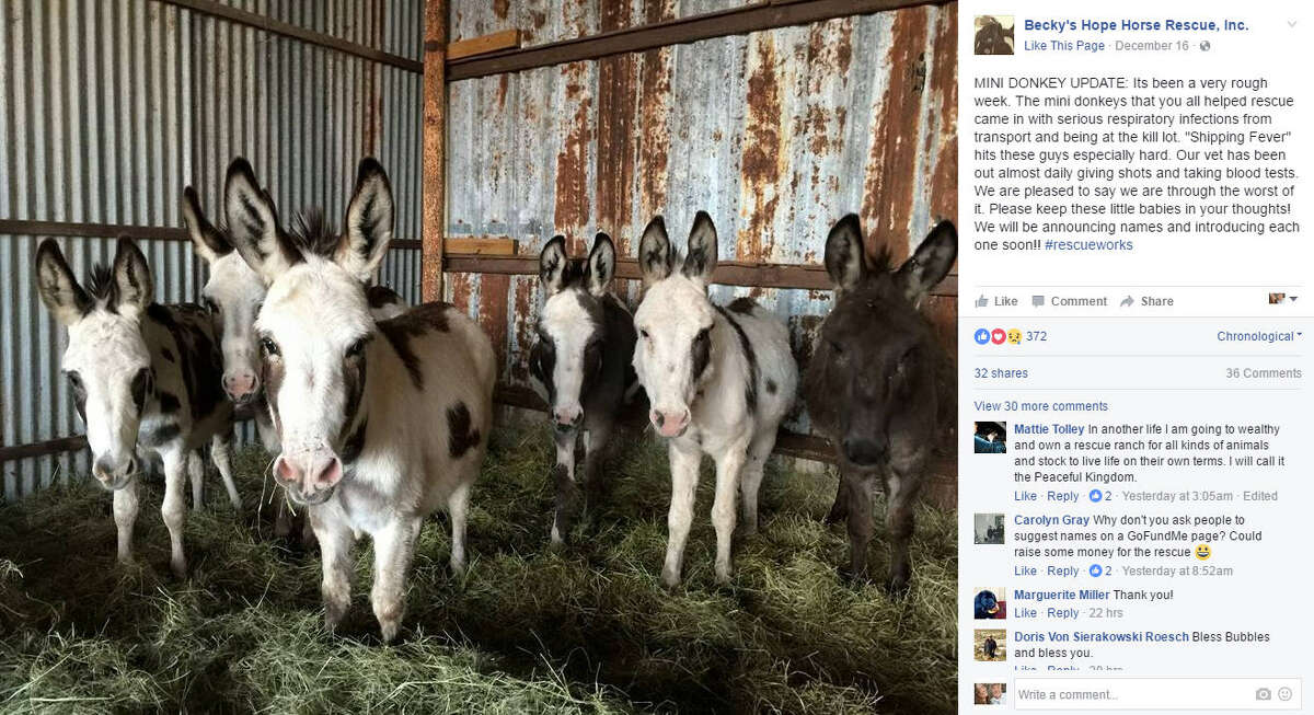Bubbles the horse was rescued from the slaughter houses in Mexico after he pretended to be a miniature donkey. The group of donkeys he walked with is pictured above. Source: Facebook