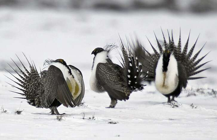 FILE - In this April 20, 2013 file photo, male greater sage grouse perform mating rituals for a female grouse, not pictured, on a lake outside Walden, Colo. The Obama administration will release five possible plans Thursday, Dec. 29, 2016, for limiting mining on federal land in the West to protect the vulnerable greater sage grouse, but it isn't saying which it prefers. (AP Photo/David Zalubowski, File)