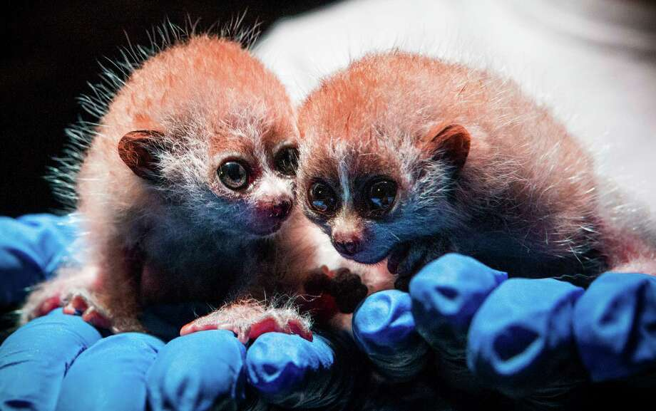 Paula Kolvig, rainforest assistant curator, holds Pygmy Slow Loris twins at Moody Gardens in Galveston. The twins, who have yet to be named, were born Dec. 16. Photo: Brett Coomer, Staff / © 2016 Houston Chronicle