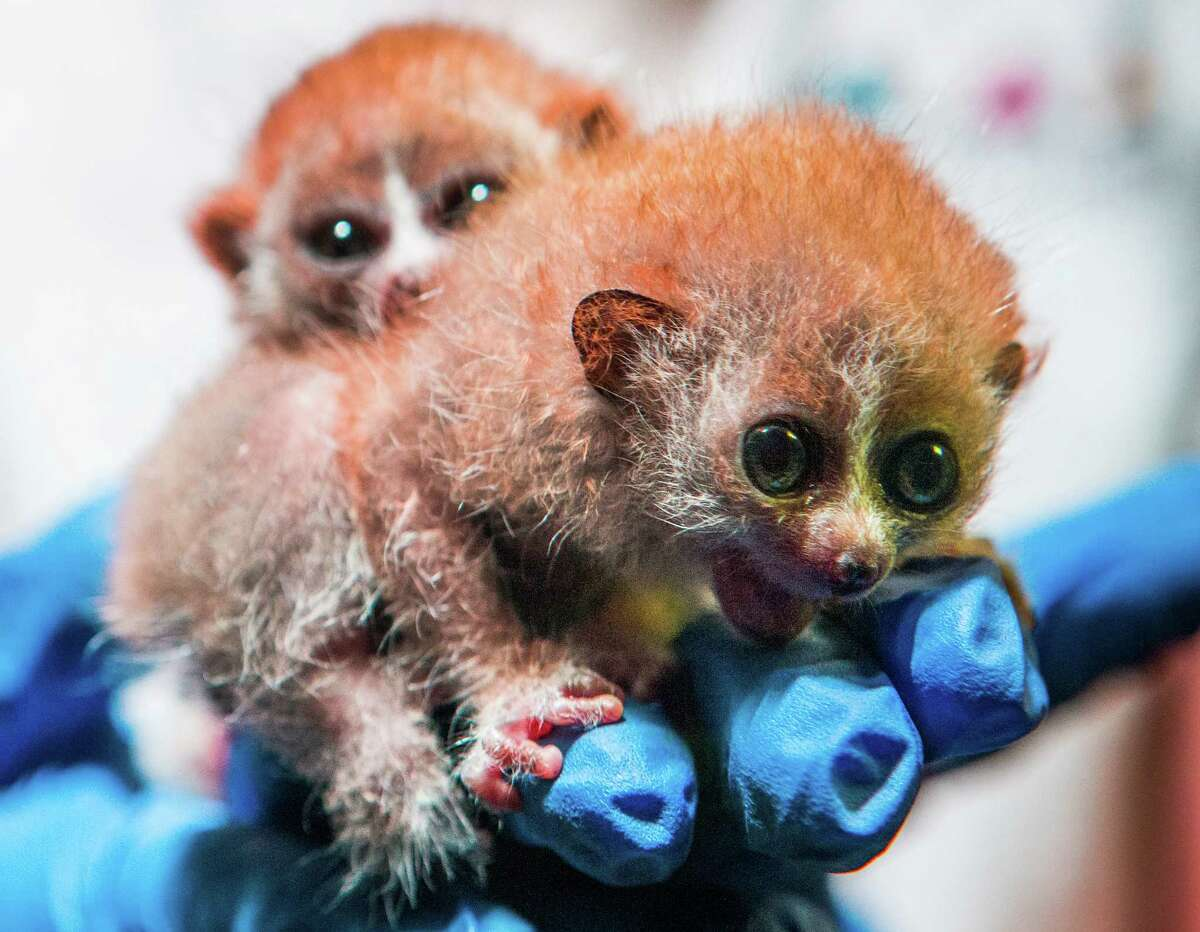 Pygmy Slow Loris twins were born Dec. 16 at Moody Gardens in Galveston.